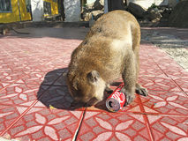 Monkey with stolen can of Coca Cola Stock Images