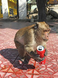 Monkey with stolen can of Coca Cola Stock Image