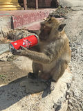 Monkey with stolen can of Coca Cola Royalty Free Stock Image