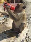 Monkey with stolen can of Coca Cola Stock Photos
