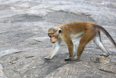 Monkey on stone Stock Photography