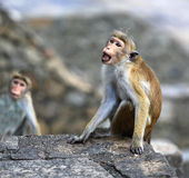 Monkey on stone Royalty Free Stock Images