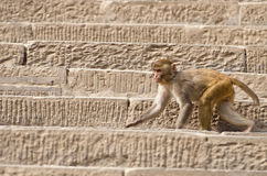 Monkey on stone historical Swayambhunath stupa staircase, Kathmandu Stock Photo