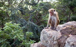 Monkey on stone Royalty Free Stock Image