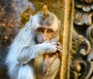 Monkey in a stone temple. Bali Island, Indonesia Stock Images