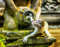 Monkey in a stone temple. Bali Island, Indonesia Royalty Free Stock Photography