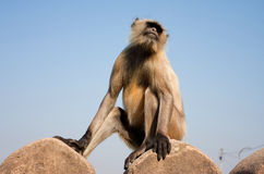 Monkey on the stone wall Stock Image