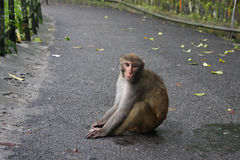 Monkey in the Street Royalty Free Stock Image