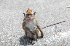 Monkey in the Street Royalty Free Stock Photos