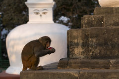 Monkey at Stupa in Swayambhunath Monkey temple in Kathmandu, Nepal Royalty Free Stock Photo