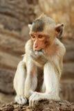 Monkey. Sucking fingerd Stock Image