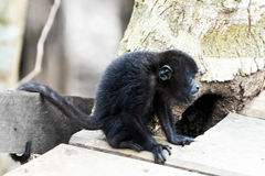 Monkey in the sun Royalty Free Stock Photography