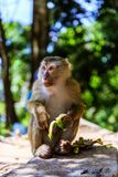 Monkey at sunny day at Monkey Hill Royalty Free Stock Photo