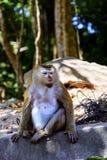 Monkey at sunny day at Monkey Hill Royalty Free Stock Photos
