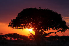 Monkey on Sunset. Sunset on a tree an a monkey in Serengeti National Park Royalty Free Stock Photography