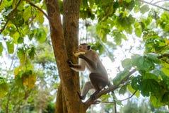 Monkey sur l'île de Sri Lanka dans le sauvage photos stock