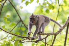 Monkey sur le branchement d'arbre dans la forêt d'Ubud, Bali Photo libre de droits