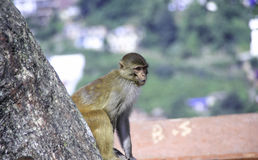 Monkey in the Swayambhu Monastery. Monkey is a wild animal but some people keep it as pet also. In Kathmandu Nepal there are so many temples where monkey can be Stock Images