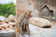 Monkey at Swayambhunath. Royalty Free Stock Image