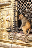 Monkey at Swayambhunath Stupa. Nepal Royalty Free Stock Image
