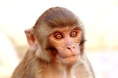 Monkey from the Swayambhunath temple Royalty Free Stock Photo