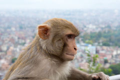 Monkey at the Swayambhunath temple in Nepal Stock Photos