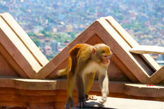The monkey in Swayambhunath Royalty Free Stock Image
