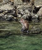 Monkey Swimming and Sitting on a Rock stock photos