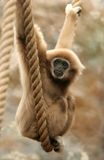 Monkey swinging. A monkey swinging in a zoo Royalty Free Stock Photography