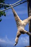 Monkey swinging. White monkey swinging with blue sky background Stock Photos