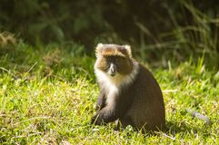 Monkey Sykes Cercopithecus frontalis sitting on the grass royalty free stock photography