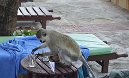 Monkey on the table in Kenya. Monkey on the beach looking for foods tourists, Kenya Stock Images