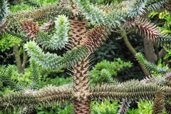 Monkey tail tree (Araucaria araucana). Araucaria araucana (commonly called the Monkey puzzle tree, Monkey tail tree, Chilean pine, or Pehuen Royalty Free Stock Photography