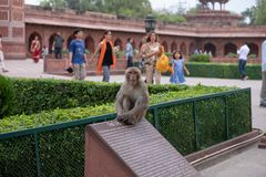 A monkey at the Taj Mahal sits on top of an informational sign. royalty free stock image