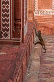 Monkey in Taj Mahal Temple Stock Photo