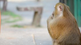 Monkey takes a nut from the hands of a girl stock video