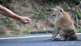 Monkey takes a nut from the hands of a man stock video footage