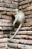 Monkey. A monkey is taking a sitting sleep triangular wall ancient remains corner Royalty Free Stock Images