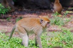 Monkey. At Tang Kuan Hill songkhla thailand Royalty Free Stock Photo