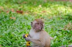 Monkey. At Tang Kuan Hill songkhla thailand Stock Photography