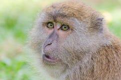 Monkey. At Tang Kuan Hill songkhla thailand Royalty Free Stock Image