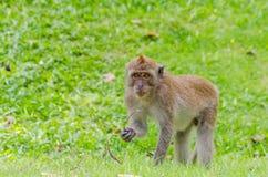 Monkey. At Tang Kuan Hill songkhla thailand Royalty Free Stock Photos