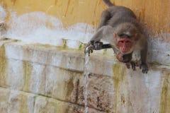 Monkey tap water Royalty Free Stock Photos