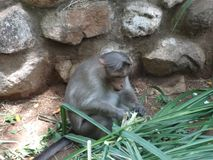 A monkey tearing stem  at zoo. This photo is from zoo of ooty, while i have visit ooty zoo Royalty Free Stock Photos