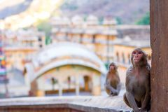 Monkey Temple in Jaipur, India. stock photography