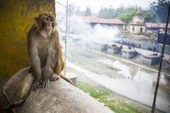 Monkey at Temple Pashupatinath, Kathmandu, Nepal royalty free stock photography