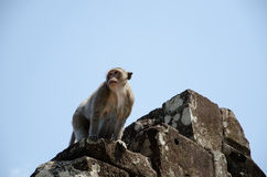 A Monkey on Temple Ruins Stock Photography