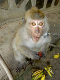 Monkey in Thailand. Monkey by the road on Koh Phangan island in Thailand Stock Photos