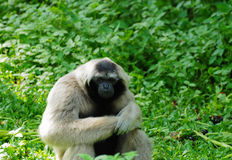 Monkey in Thailand. Image of Monkey in Thailand Stock Images