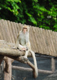 Monkey in Thailand Royalty Free Stock Photo
